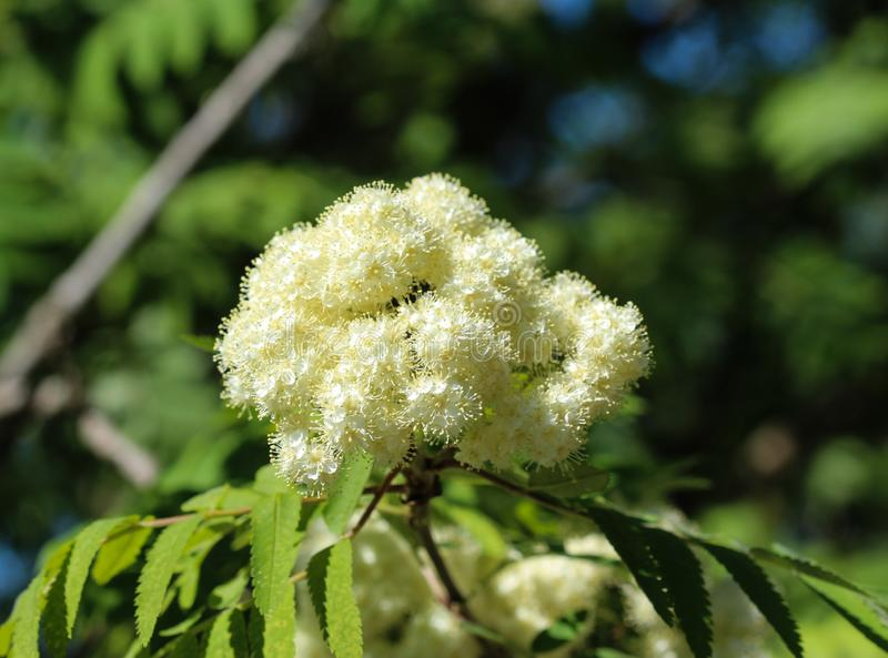Rowan or mountain ash (Sorbus aucuparia) flower, blooming in spring. Close up of rowan or mountain ash (Sorbus aucuparia) flower, blooming in spring royalty free stock photos