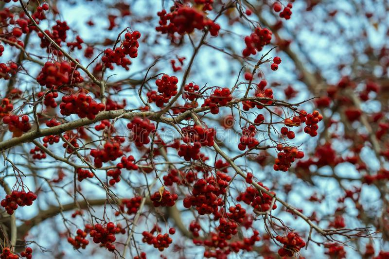Rowan, natural autumn patern and texture, fruits of mountain ash, blue sky. Red mountain ash, rowan, natural autumn patern and texture, fruits of red ashberry on stock image