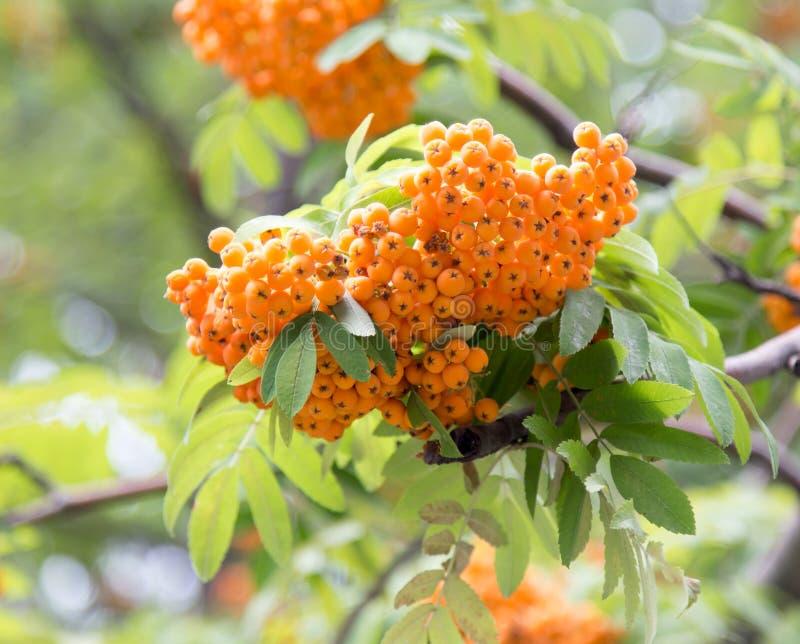 Download Rowan Outdoors fotografering för bildbyråer. Bild av rött - 106831811