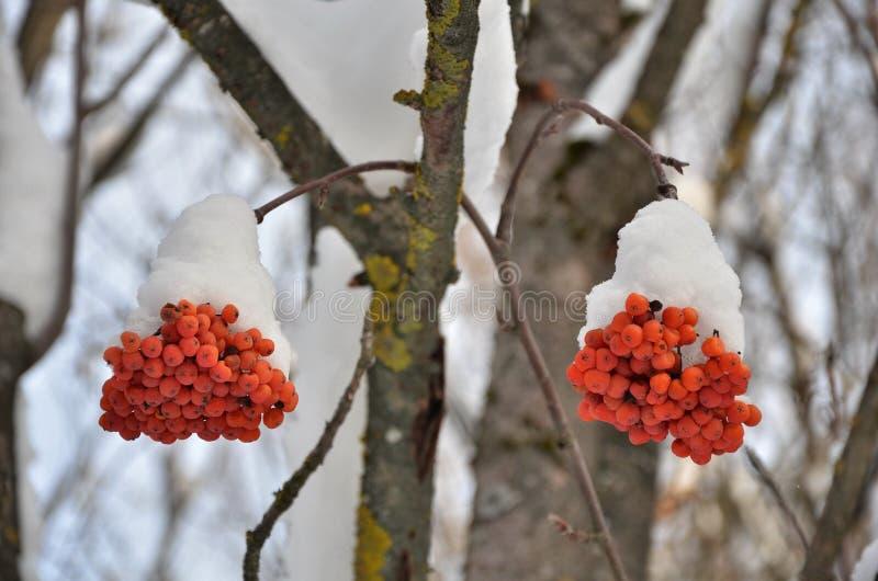 Rowan, ripe berries. Rowan berries on a branch under snow in winter stock photo