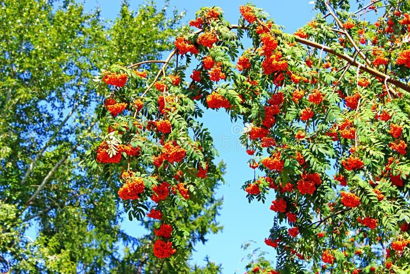 Rowan rozgałęzia się z jaskrawymi jagodami obrazy royalty free