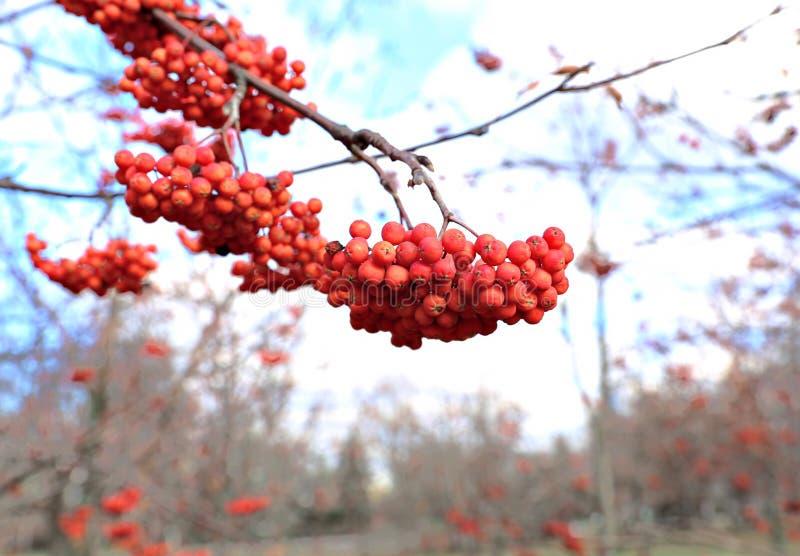 Rowan rozgałęzia się z jaskrawymi jagodami fotografia stock