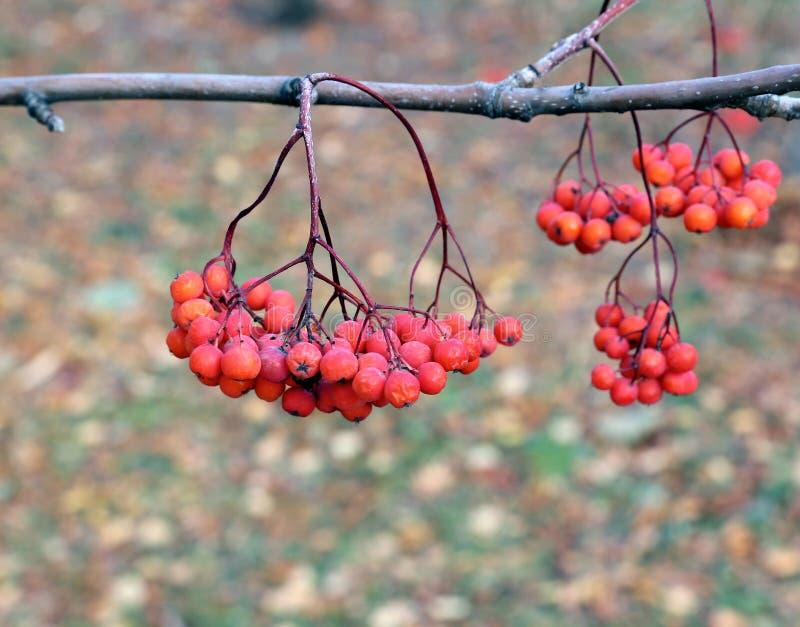 Rowan rozgałęzia się z jaskrawymi jagodami obraz stock