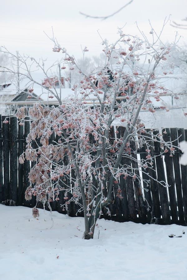 Rowan Russian-Winter lizenzfreie stockfotografie