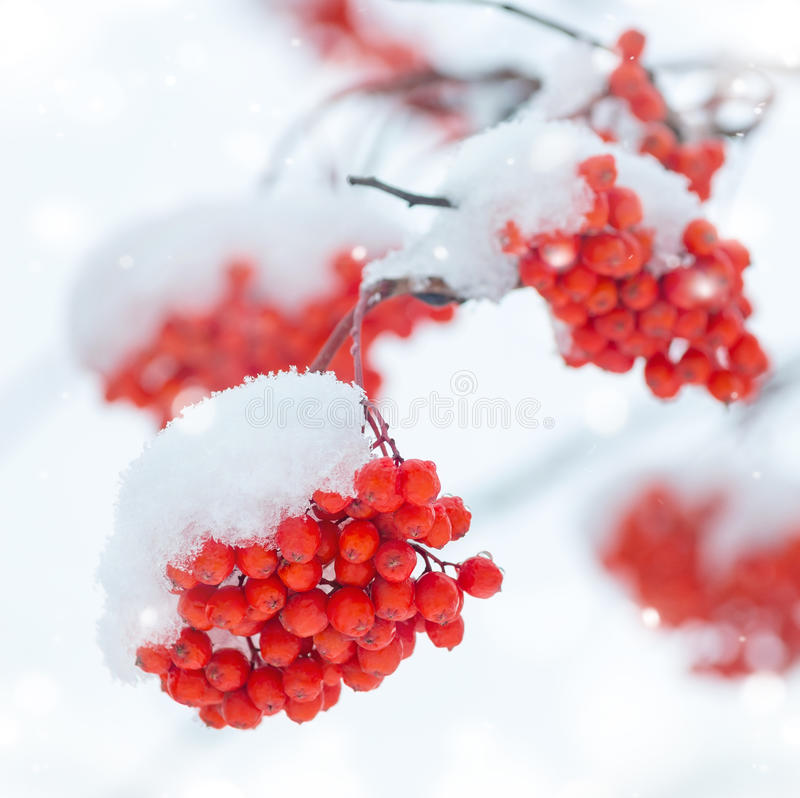 Rowan in the snow. Bunches of colorful mountain ash covered with snow stock image