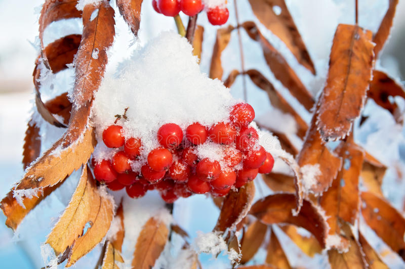 Rowan in the snow royalty free stock images