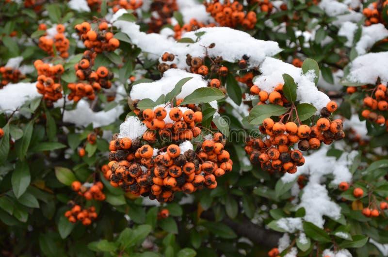 Rowan in the snow. royalty free stock image