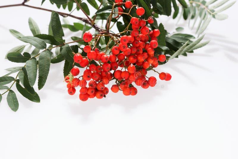 Rowan Sorbus-aucuparia Beeren und Blätter lokalisiert auf Weiß stockbild
