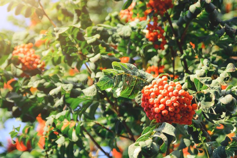 Rowan Sorbus aucuparia branches with red berries. Natural autumn background. stock photography
