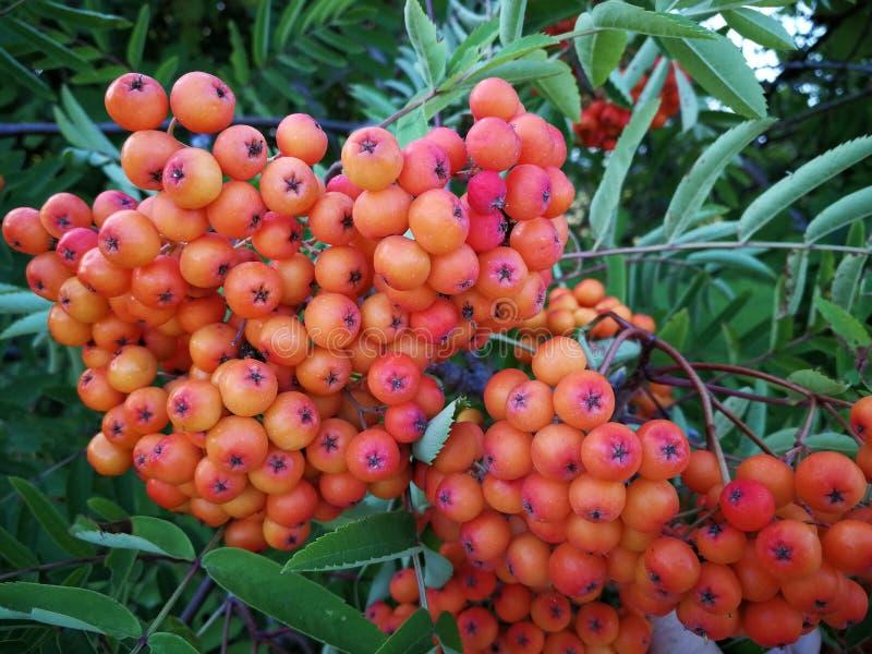 Rowan, sorva, Rowan vermelho e alaranjado bonito berry' s que cresce em Richmond, Columbia Britânica fotos de stock royalty free