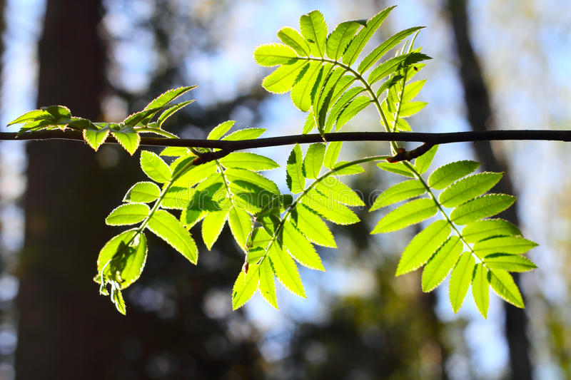 Download Rowan Spring Foliage Stock Images - Image: 24890184