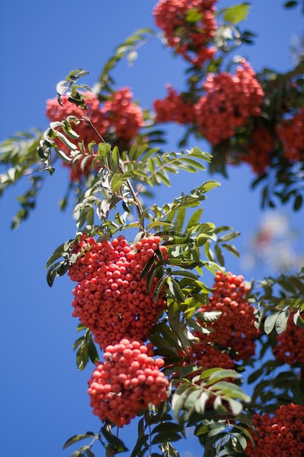 Rowan tree stock image