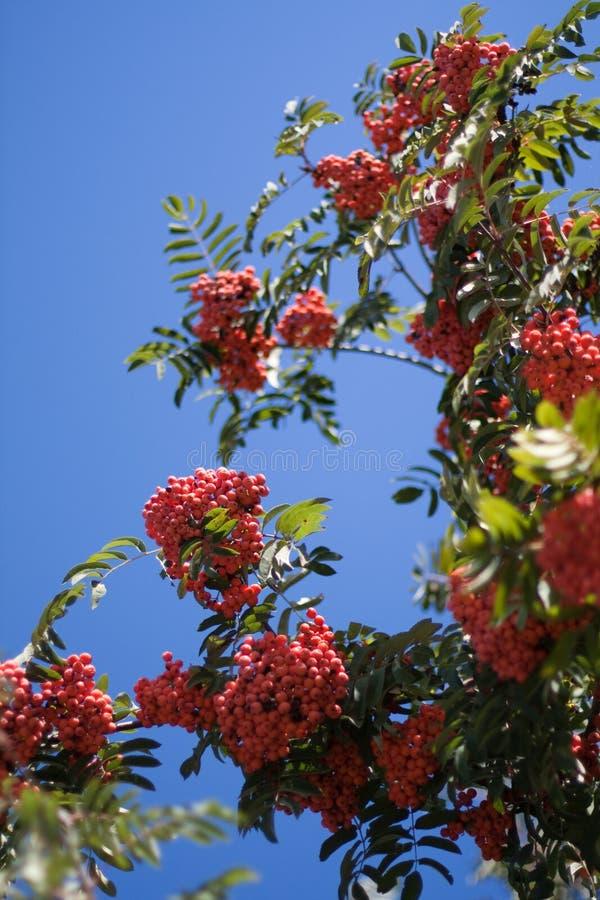 Rowan tree royalty free stock image