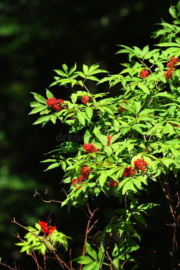 Rowan tree. Leaves and berries of rowan tree stock photo