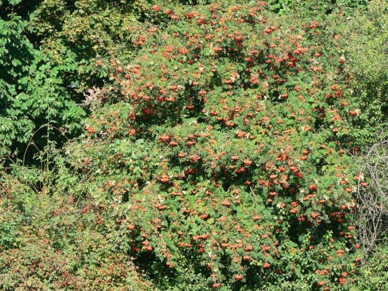 Rowan Tree with Berries stock image