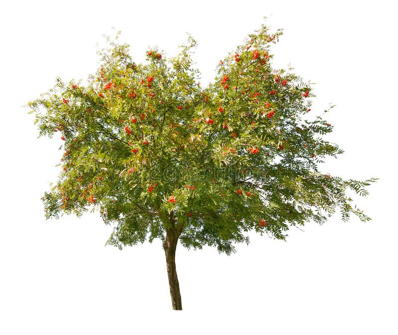 Rowan tree with berries isolated on white royalty free stock image
