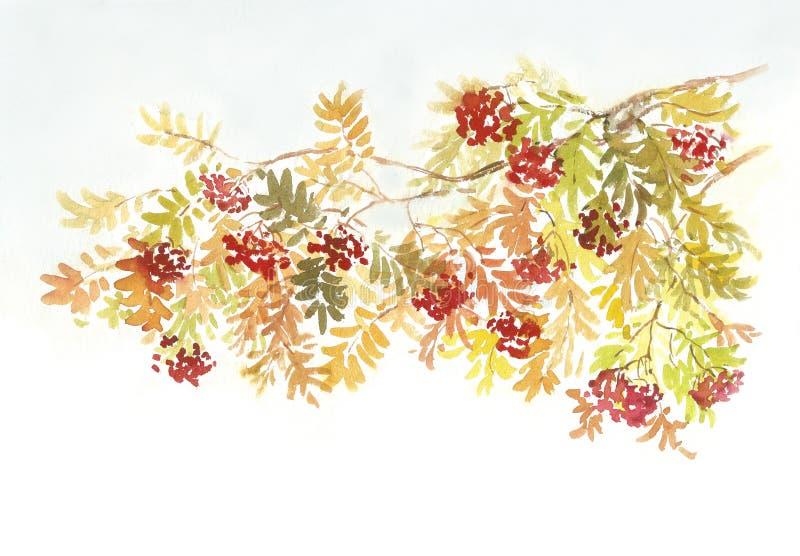 Rowan tree branch. Rowan tree (mountain ash) on the white background. Watercolor