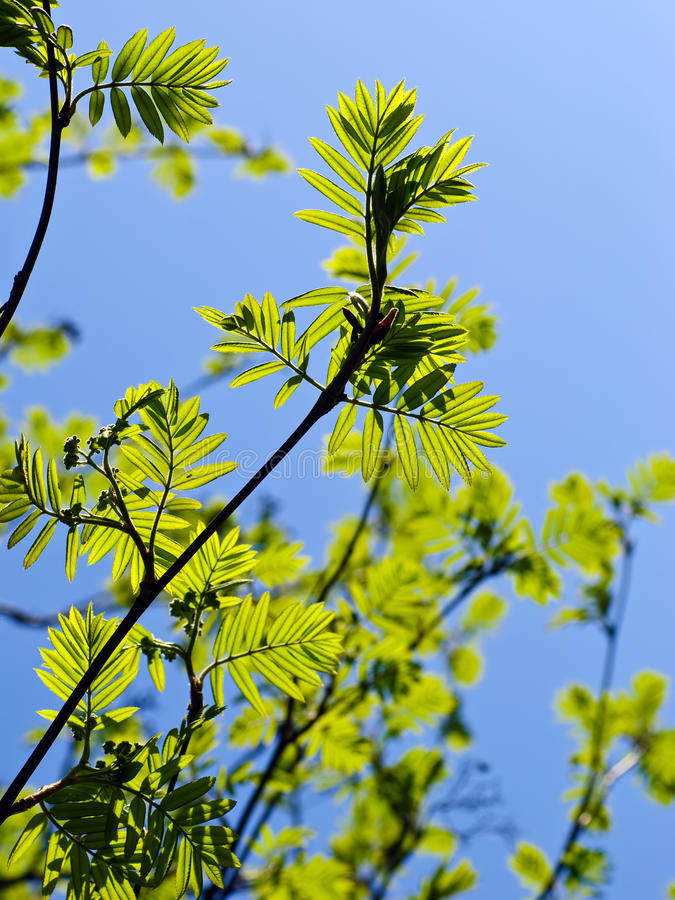 Download Rowan Tree Branches With Leaves Stock Image - Image: 14400715