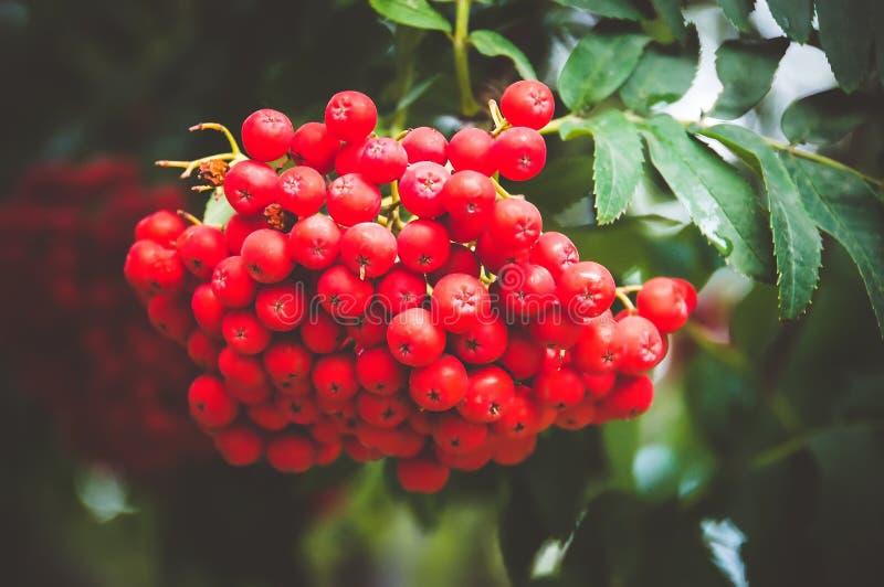 Rowan tree, close-up of bright rowan stock photo