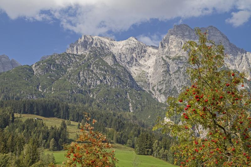Rowan tree with Loferer stone mountains. The rowan or the rowan tree flanking the mighty massif of the Loferer Steinberge royalty free stock photos