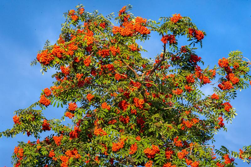 Rowan. A tree with fruits in the form of a bunch of orange-red b. Erries, as well as the most berries. a mountain ash, in particular the European Sorbus stock photos