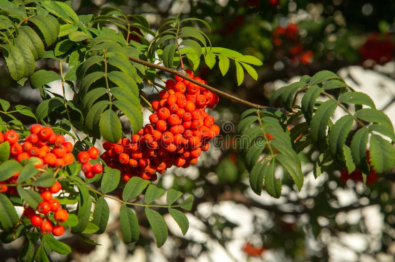 Rowan. A tree with fruits in the form of a bunch of orange-red b. Erries, as well as the most berries. a mountain ash, in particular the European Sorbus royalty free stock photo