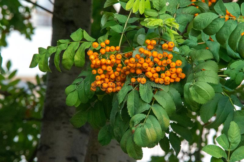 Rowan. A tree with fruits in the form of a bunch of orange-red b. Erries, as well as the most berries. a mountain ash, in particular the European Sorbus stock images
