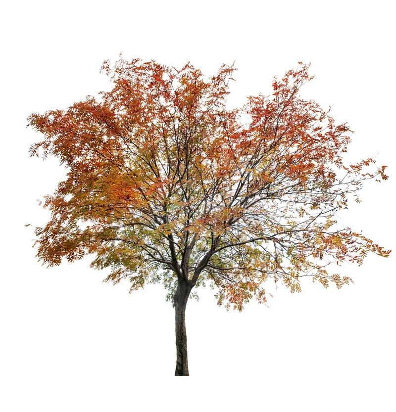 Rowan Tree At Late Autumn On White Stock Image