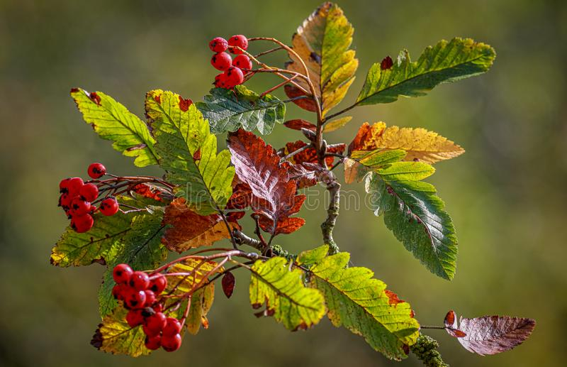 Rowan tree leaves and berries in autumn royalty free stock photos