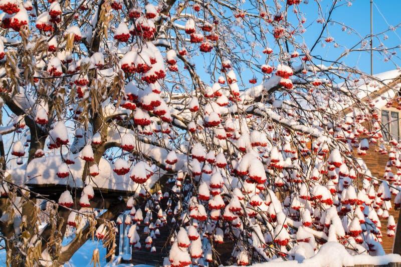 Rowan tree with red berries in a village. Rowan tree with red berries in a winter village stock photos