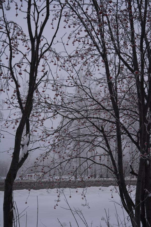 Rowan trees with berries in winter overcast day. Nature in the city.  stock images