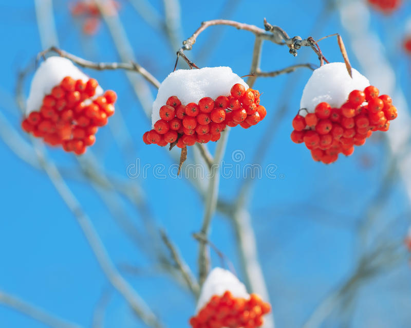 Rowan under snow. The clusters of red mountain ash covered with snow stock images