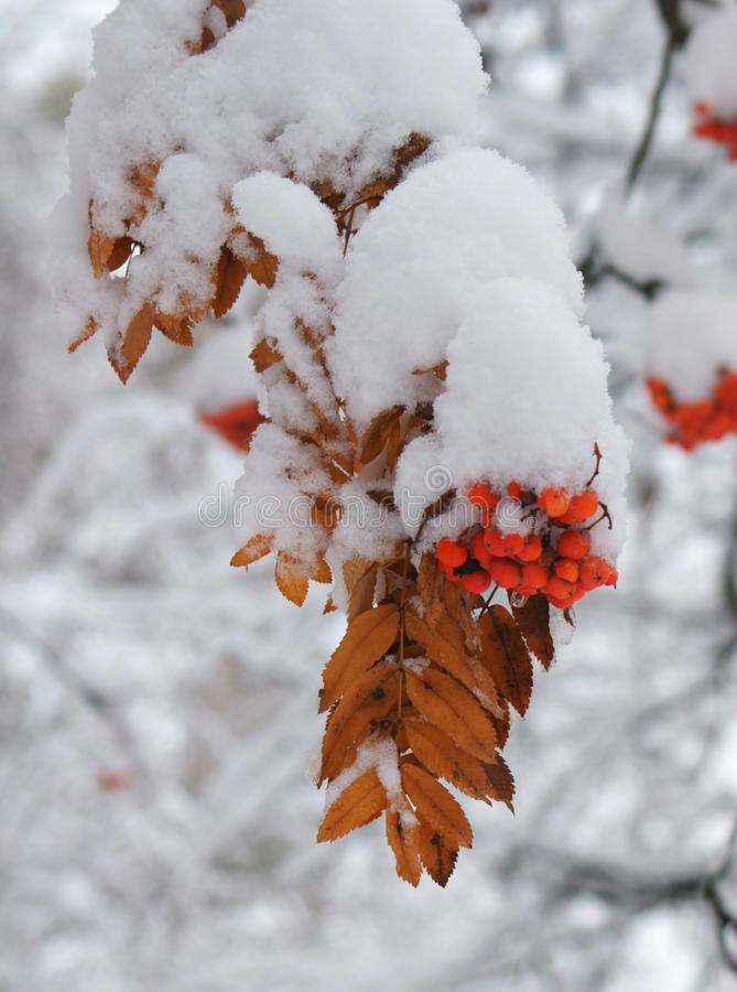 Rowan under snow. Winter shot. royalty free stock photos