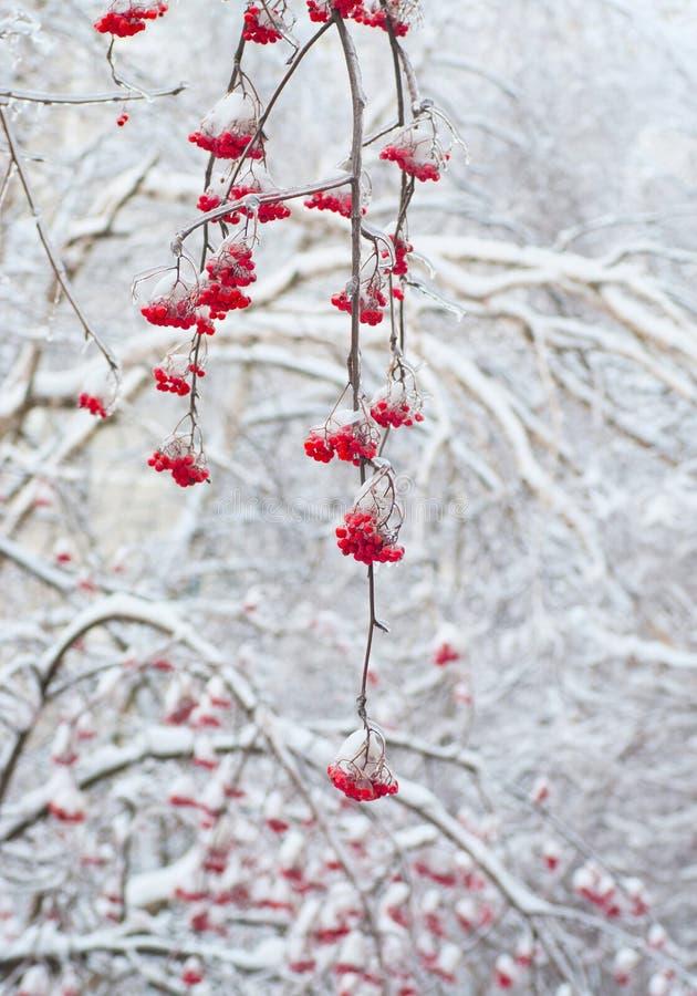 Rowan vermelho no inverno fotografia de stock royalty free
