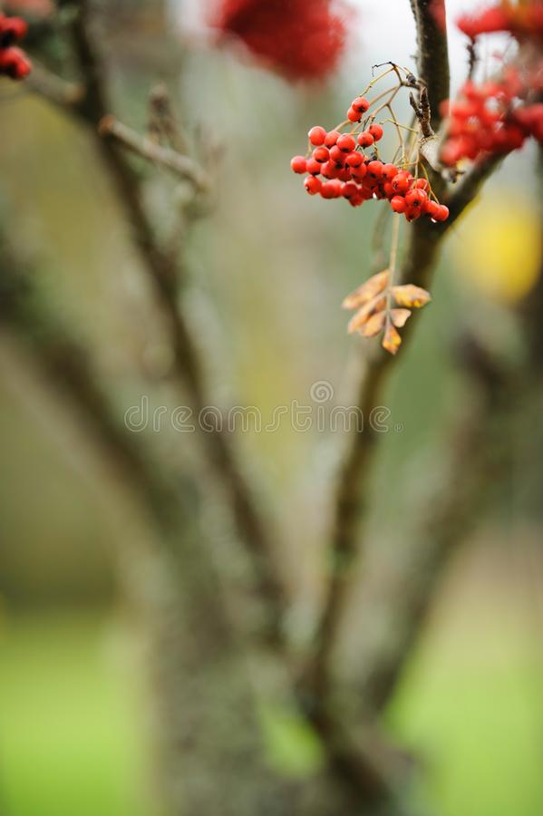 Rowanberries and leaves in autumn. Rowanberries and colorful yellow leaves hanging from branch in autumn royalty free stock image