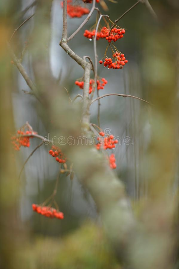 Rowanberries hanging from branch in autumn. Red ripe rowanberries hanging from tree branches in autumn stock image