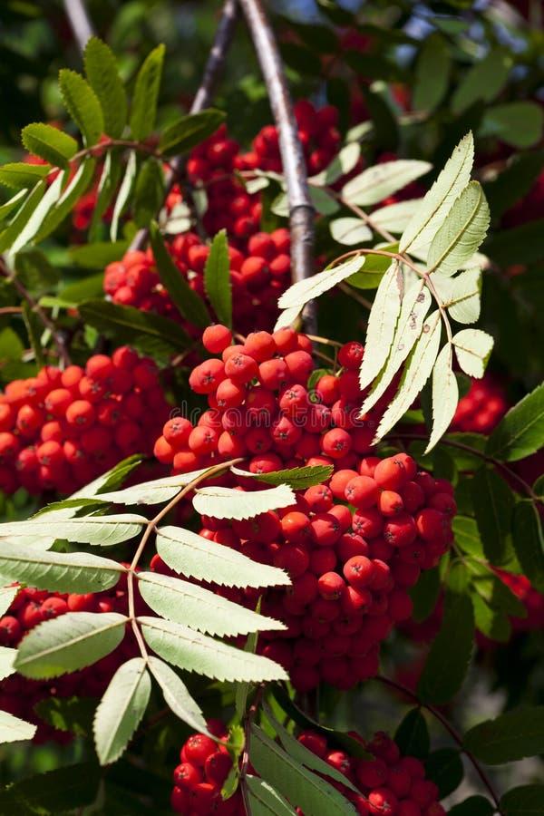 Rowanberry fotos de stock royalty free