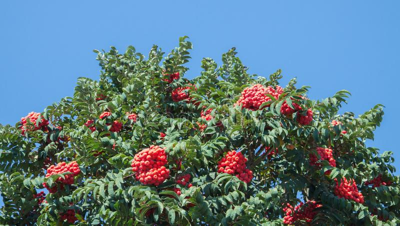 Rowanberry branch. Red mountain ash on background of a blue sky. royalty free stock image