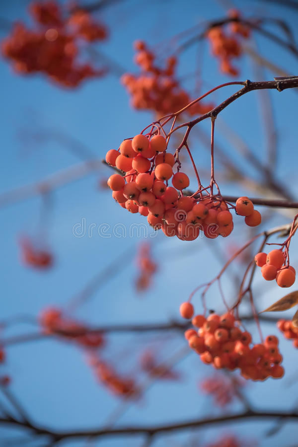Rowanberry Fruit on Winter Tree. Ashberry Close-up on a Blue Sky royalty free stock images