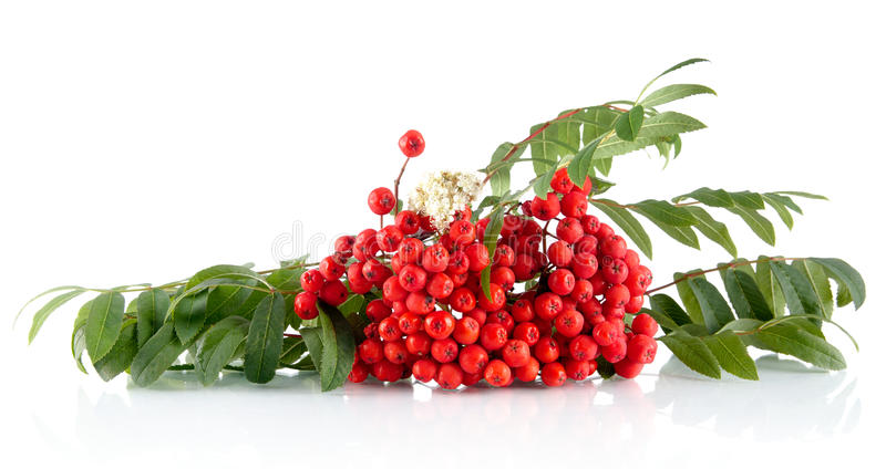 Rowanberry with leaves isolated on white background. Rowanberry with green leaves isolated on white background stock images