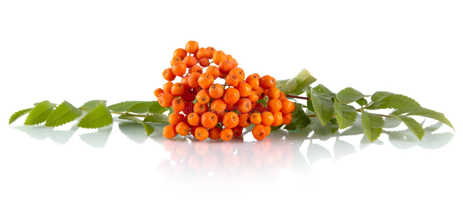 Rowanberry with leaves isolated on white background. Rowanberry with green leaves isolated on white background stock photography