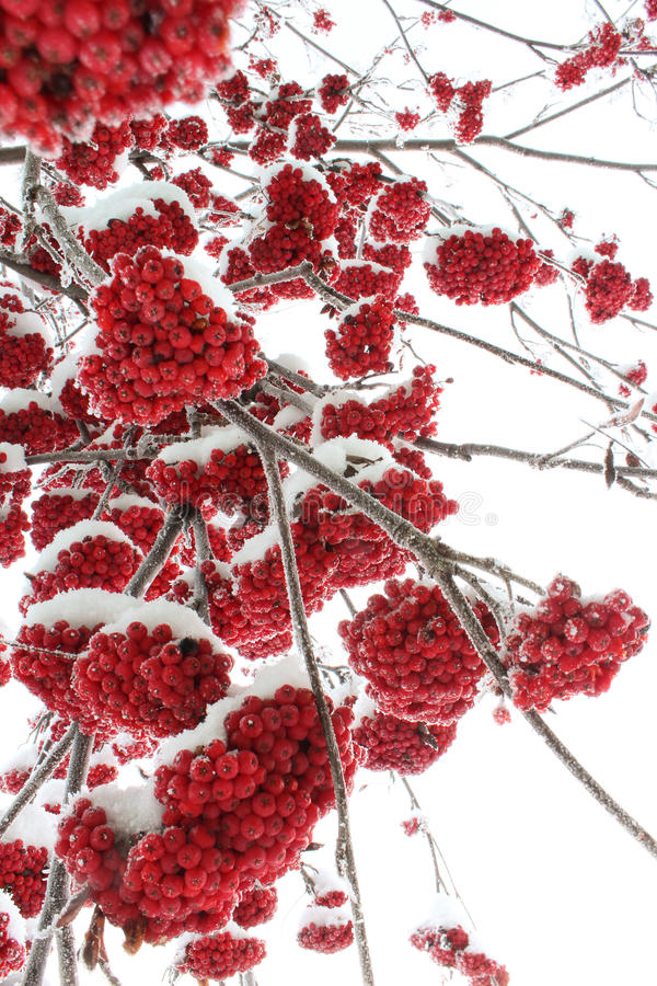 Rowanberry in winter nature stock photography