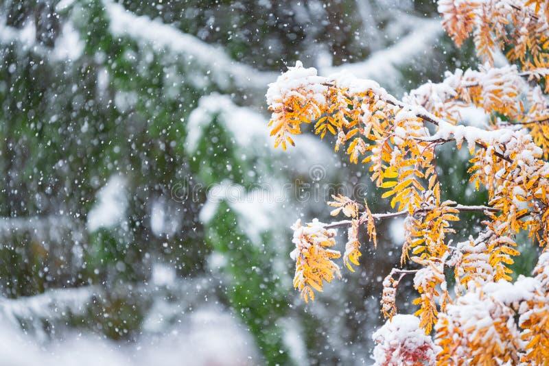 Rowanträdsgrenar och gula blad täckta med färsk snö royaltyfri foto
