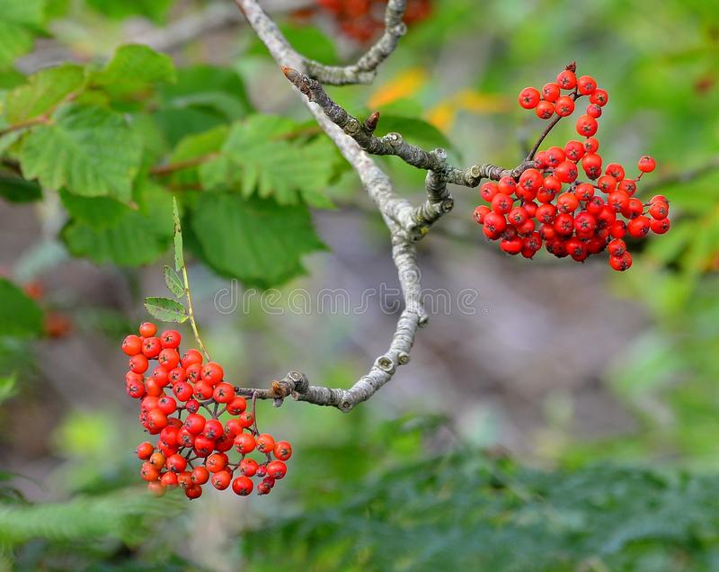 Rowen mountain ash berries on forked branch. royalty free stock photo