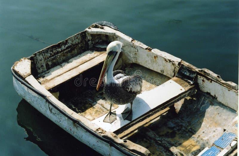 rowing пеликана шлюпки стоковое изображение