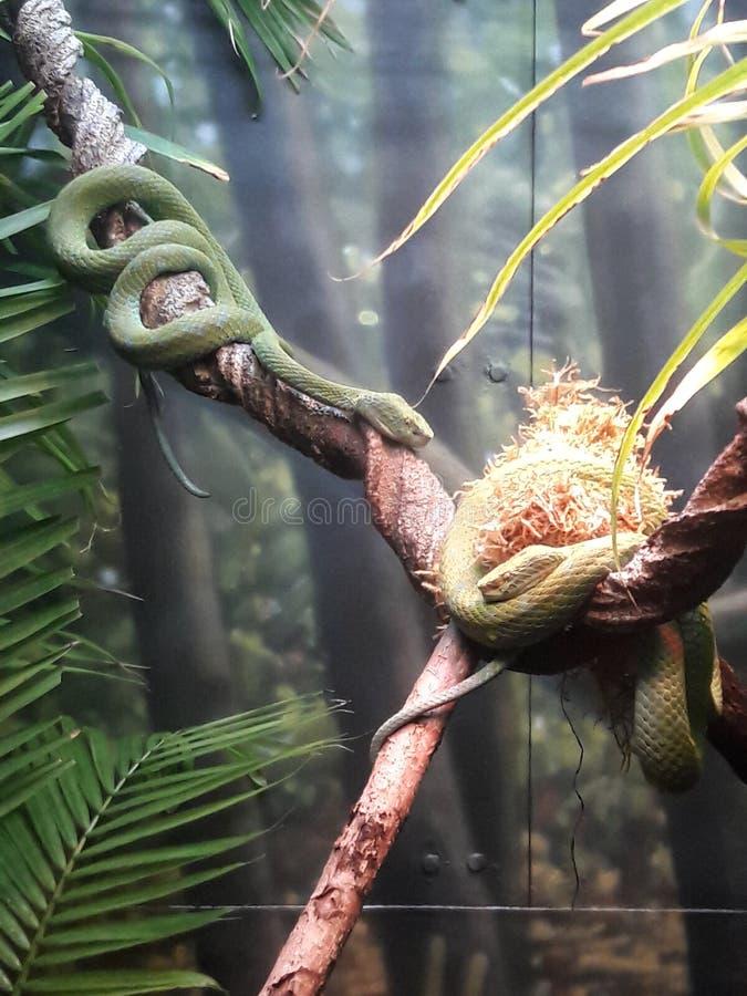 Rowley& x27; serpenti velenosi di verde di Pit Viper della palma di s dal Messico immagine stock libera da diritti