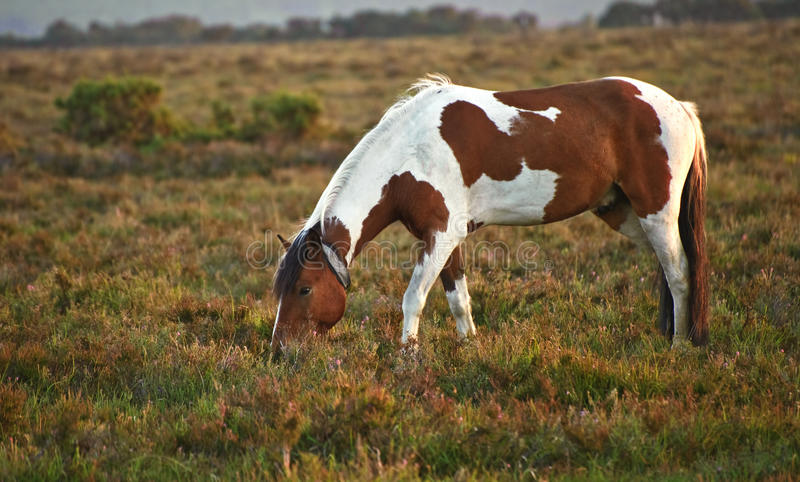 Rown and white New Forest pony sunrise stock photography