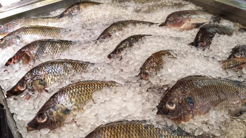 Rows of Asian Seabass. Or Lates calcarifer on tray of ice being sale at market royalty free stock images