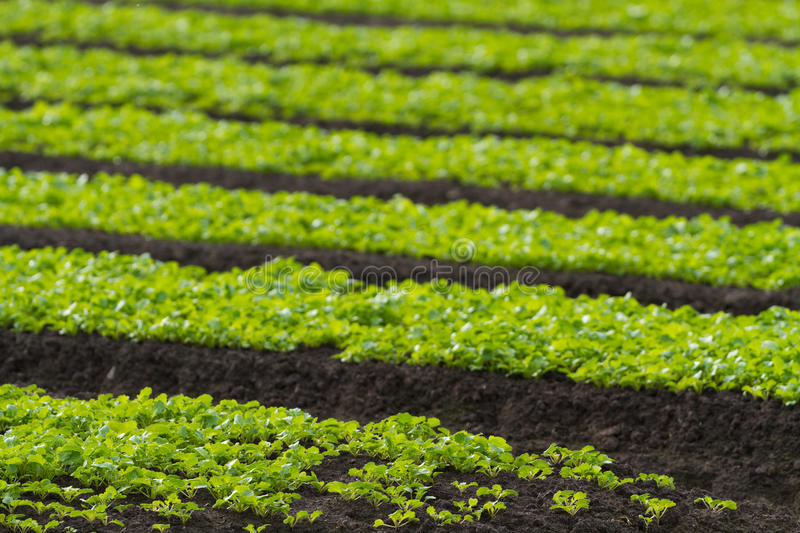 Download Rows Of Baby Lettuce Leaf Salad Plants Stock Image - Image: 25700847