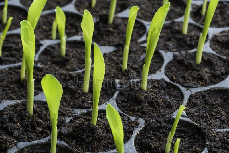 Rows of baby plants in the cultivate tray. Plant sprout with water drop on the top in cultivate tray in close up view royalty free stock photo